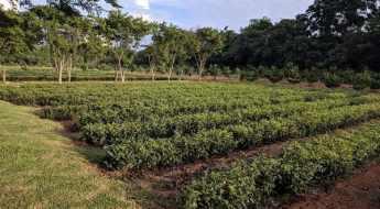 tea plantation in Taiwan