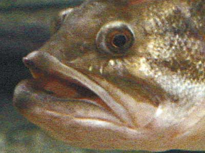 Taxidermy Net Largemouth Bass Reference Photos