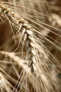 Food Myths: Multigrain equals whole grain.