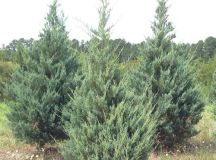 Burkii Red Cedar Juniperus virginiana Burkii from Taylor's ...