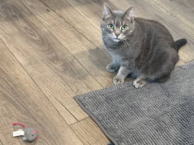 grey cat on grey rug on brown fake wood floor, with grey toy mouse nearby