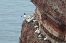 Beliebt sind die Felsbänder in den Felsen, auf denen sich dicht an dicht die Nester befinden. Von hier lassen sich Abflug und Landung ohne Nachbarschaftsrangeleien durchführen.