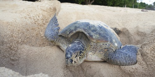 Sea Turtle   Shell Key   PInellas County