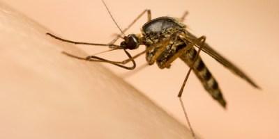 Mosquitoes | Mosquito | Mosquito Control