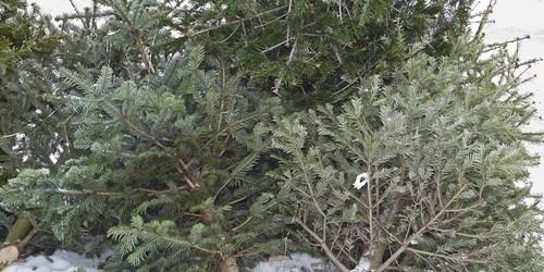 Christmas Tree Disposal | Christmas Tree Recycle | Christmas Tree