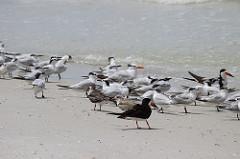 Shorebirds   FWC   Nesting Season