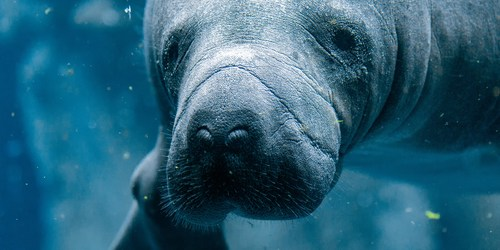 Manatee | FWC | Boaters and Boating