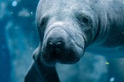 Watch for Manatees, State Warns