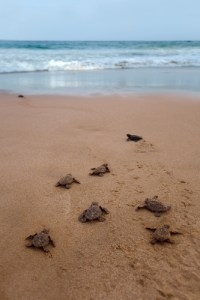 Sea Turtles | Baby Sea Turtles | Sea Turtle Nest