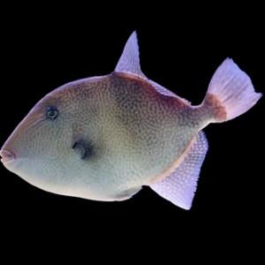 Gray Triggerfish | Fishing | Fishing Season