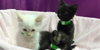 Pet Adoption | Cat Adoption | Kitten Adoption