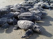 First Sea Turtles Expected to Hatch Soon on Pinellas Beaches