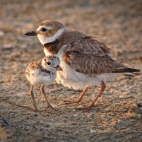 Birds   Audubon   Shorebirds