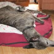 Sassy Sandpiper | Lady Jane | Greyhound