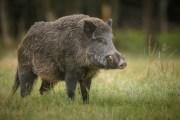 SWIFTMUD Opens Lands to Hog Hunts
