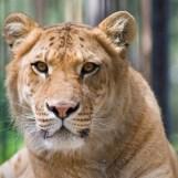 Liger | Lions | Tigers