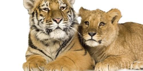 Tiger Cub   Lion Cub   Big Cats