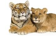 Rare Tigon Moves into Big Cat Habitat