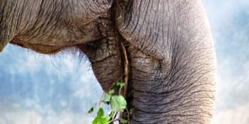 Elephant | Zoo | Volunteer