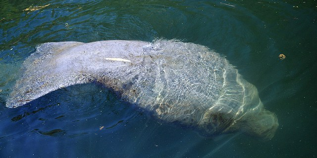 Manatees | Environment | Florida Fish and Wildlife