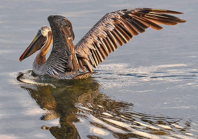 Pelican | Sea Bird | Environment