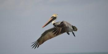 Pelican | Bird | Sea Bird