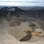 Seat Turtle | FWC | Sea Turtle Nesting