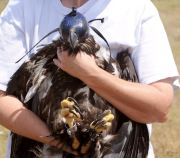 After Rough Landing, Eaglet Takes Wing