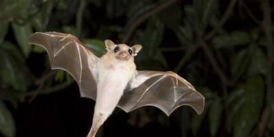 Bats | Animals | Critters