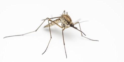 Mosquito | Virus | Sentinel Chicken