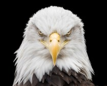 Bald Eagle | Raptor | Birds