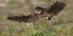 Florida Burrowing Owl | FWC | Imperiled Species