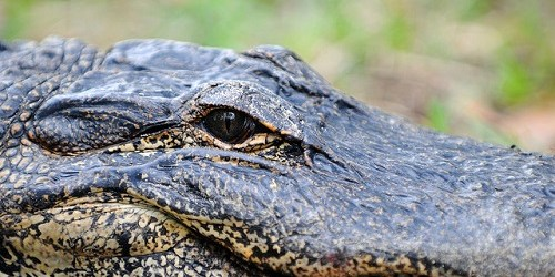 Alligators | Fish and Wildlife Conservation Commission | Animals