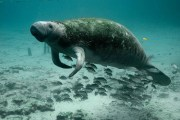 Crist Asks That Manatee Protection Be Strengthened