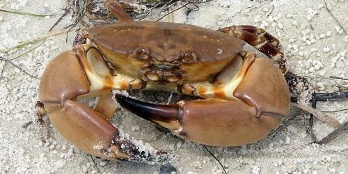 Stone Crabs | Florida Fish and Wildlife | Stone Crab Season