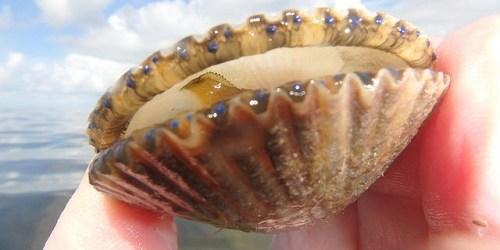 Scallop | Florida Fish and Wildlife | Sports