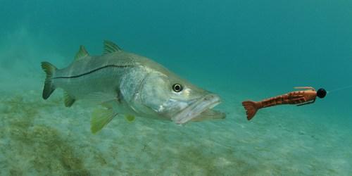 Snook | Fishing | Sports