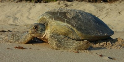 Sea Turtles | Florida FIsh and Wildlife | Wildlife