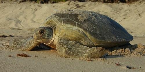 Sea Turtles | Florida FIsh and Wildlife | Wildlife