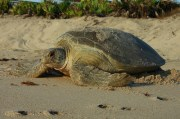 Lights Out! Sea Turtles Are Nesting