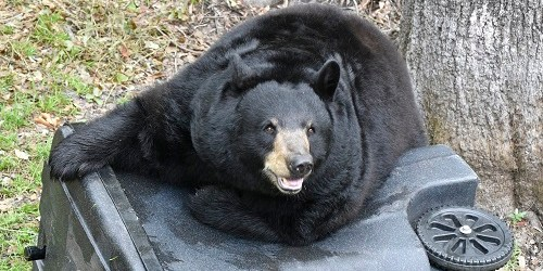 Florida Black Bear | FWC | Wildlife