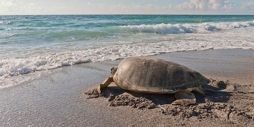 sea turtle | Nesting Season | Environment