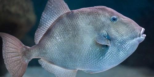 Gray Triggerfish | Sports | Fishing