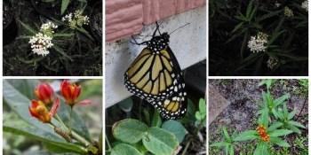 mr wilson | milkweed | Monarch butterfly