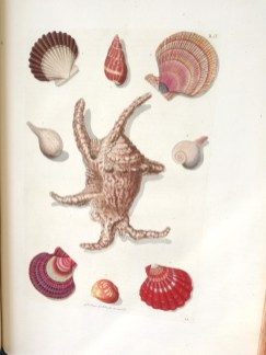 Scallop shells with the Devil's Toenails shell of the oyster family (centre)