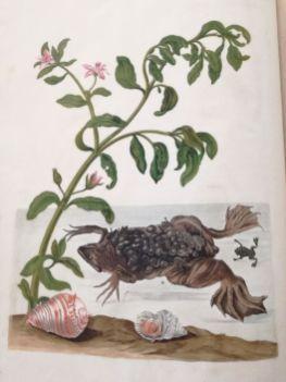 Shoreline Purslane (Sesuvium portulacastrum) and a Common Suriname Toad (Pipa pipa) with tropical shells. Fag.GG.2.10