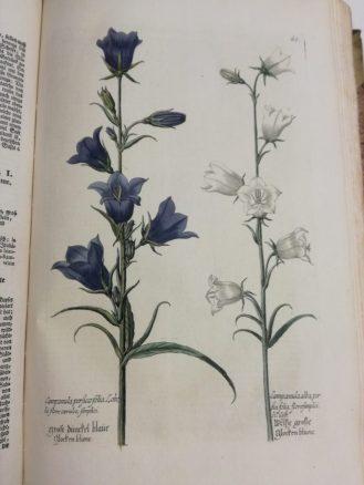 Campanula persica folia Lobelii, flore caeruleo, simplici. Campanula alba, persici folia, flore simplici