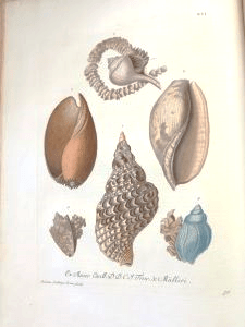 Buccins or whelks, including Neptune's Trumpet, also known as Triton's Horn (centre)
