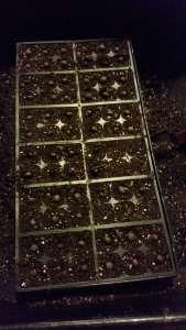 Planted Tea Seeds (1)