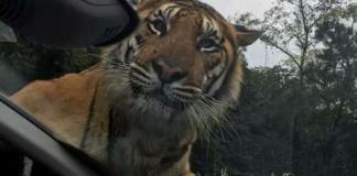 ห้วใจแทบหยุดเต้น! เสือตัวเบ้อเริ่มโผล่กระโดดเกาะรถ